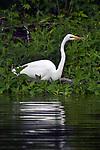 Snowy Egret, vertical