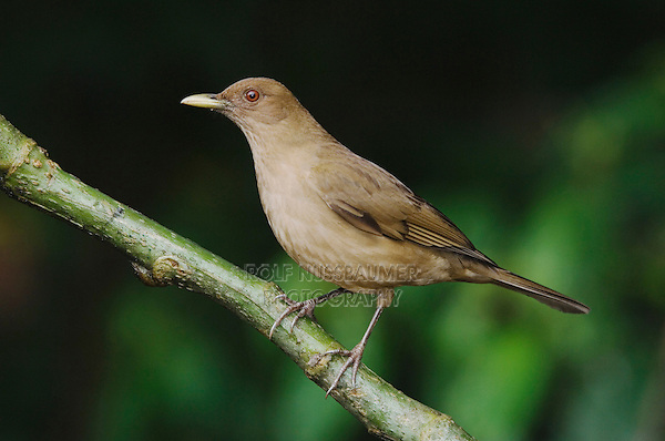 Clay-colored Robin, Turdus grayi, adult perched, Central Valley, Costa Rica, Central America, December 2006