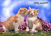Xavier, ANIMALS, REALISTISCHE TIERE, ANIMALES REALISTICOS, cats, photos+++++,SPCHCATS875,#a#, EVERYDAY