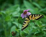 Tiger Swallowtail Butterfly missing its rear wing and tail. Image taken with a Nikon Df camera and 300 mm f/4 lens