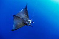 sickle-fin devil ray, Mobula tarapacana, hooked on longline, accidental by-catch of long-line shark fishing, 320 miles off Costa Rica, Pacific Ocean