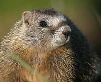 A young marmot peeks out on a summer morning.