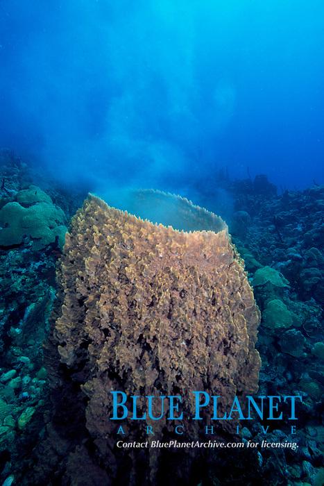 giant barrel sponge spawning, Xestospongia muta, Dominica, Caribbean Sea, Atlantic Ocean