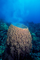 giant barrel sponge spawning, Xestospongia muta, Dominica, Caribbean Sea, Atlantic Ocean