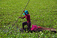 Collecting water lilies for the market and for sale at temples at Prasat Taprom and Tonle Bati, Cambodia
