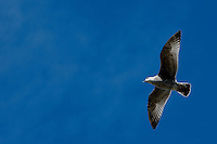 Solitary seagull flying across a blue sky, Saint Malo, Brittany, France.