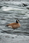 Canada Goose (Branta canadensis) feeding in the Firehole River, Yellowstone National Park, Wyoming, USA.