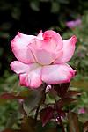 ROSA 'SECRET', HYBRID TEA ROSE