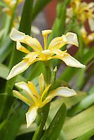 Iris foetidissima var. lutescens