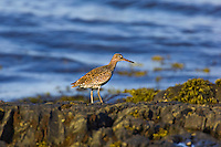 Eastern Willet (Catoptrophorus semipalmatus ).  Atlantic Ocean. Nova Scotia, Canada.  Eastern Willets differ in appearance, size and calls from those found in the West.