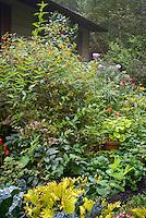 Tall plant of Impatiens capensis, Native American annual wildflower, Orange Jewelweed, in bloom in late summer, Weigela, Solenostemon Coleus, Pelargonium, Phlox paniculata, Arum italicum, Helleborus, house