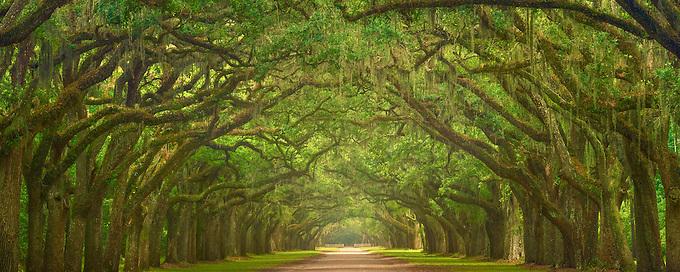 The Iconic oak lined road at Wormsloe Plantation, Savannah.