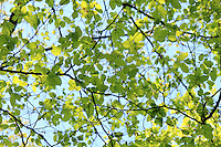 Stock photo: Maze of branches and beautiful green leaves against blue sky.