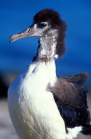 Laysan Albatross fledglings with remnant down