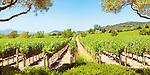 Napa Vineyard.  vineyard in northern Napa Valley, California, USA