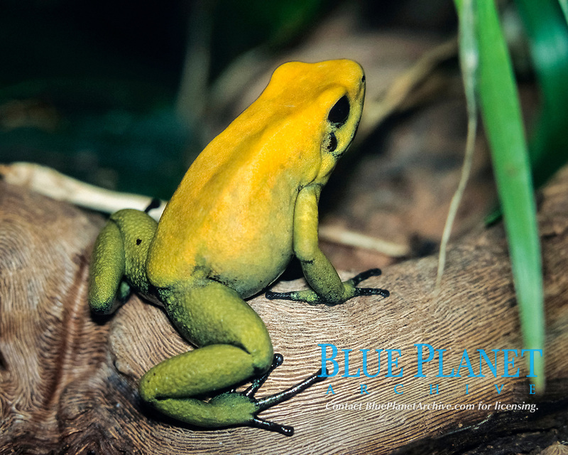 black-legged poison dart frog, bicolored poison dart frog, or neari in Choco, Phyllobates bicolor, San Juan River, Choco, Colombia (c)