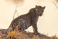 Africa, Zambia, South Luangwa National Park, leopard in alert at sunrise