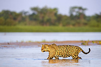 Jaguar (Panthera onca palustris) adult, walking in water, Cuiaba River, Mato Grosso, Brazil, South America
