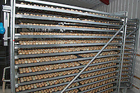 Manchurian pheasant eggs ready for hatching in a hatchery, Shropshire.