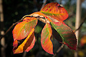 Amelanchier canadensis leaves, late October.