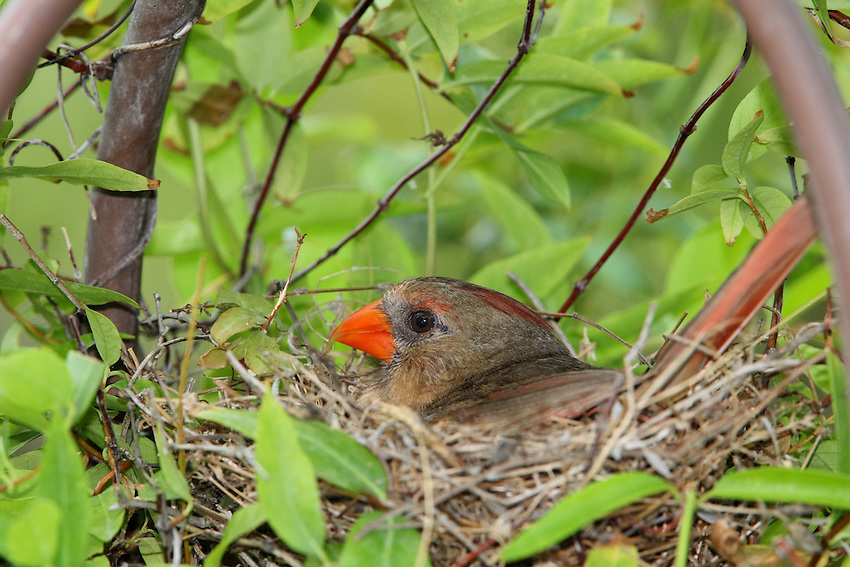 Cardinal incubating her nest in our garden arbor.