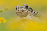 Texas Toad (Bufo speciosus), adult in wildflower field, Laredo, Webb County, South Texas, USA