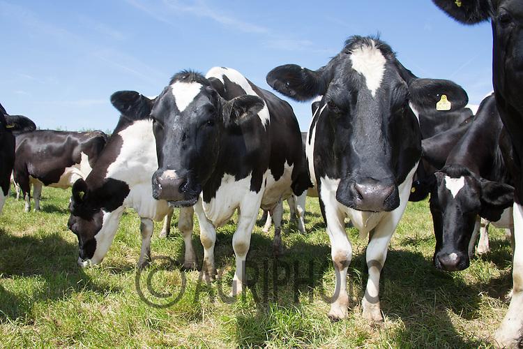British Friesian Dairy Cows<br /> Picture Tim Scrivener 07850 303986