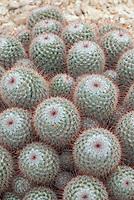 Mammillaria bombycina (Silken Pincushion)