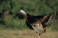 Wild Turkey, Meleagris gallopavo, male calling(gobbling), Welder Wildlife Refuge, Sinton, Texas, USA, April 2005