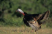 Wild Turkey, Meleagris gallopavo, male calling(gobbling), Welder Wildlife Refuge, Sinton, Texas, USA, April 2005