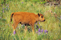 Young Bison calf  (Bison bison) walking among wildflowers. Montana.