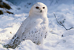 Snowy owl, Alaska
