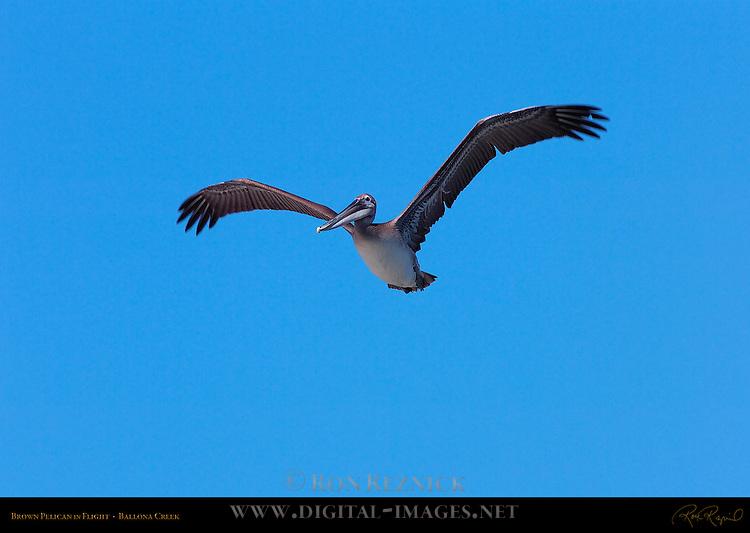 Brown Pelican in Flight, Ballona Creek, Southern California
