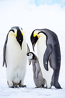 Snow Hill Island, Antarctica. A proud pair of emperor penguins nestling and bonding with their begging chick.
