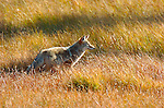 Coyote, Willow Park, Yellowstone National Park, Wyoming