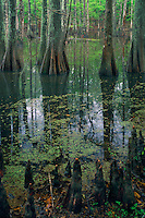 Bald cypress<br /> Lake Chicot<br /> Chicot State Park<br /> Louisiana