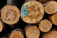 GERMANY, Teterow, forest / Wald, Forstwirtschaft, gefällte Nadelbäume, Kiefer mit Markierung