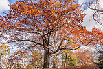 Northern red oaks in the Arnold Arboretum, Boston, MA