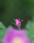 Wild Rose flower and bud in a Montana forest