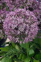 Closeup of Allium Gladiator flower