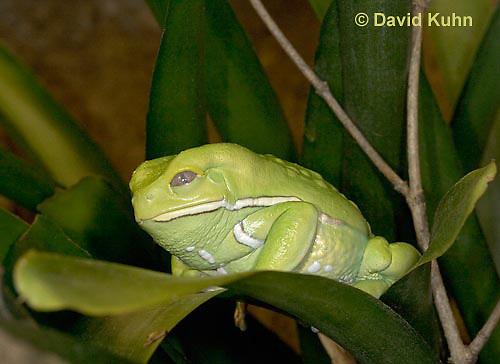 "1217-07nn  Waxy Monkey Leaf Frog - Phyllomedusa sauvagii ""Central and South America"" - © David Kuhn/Dwight Kuhn Photography."