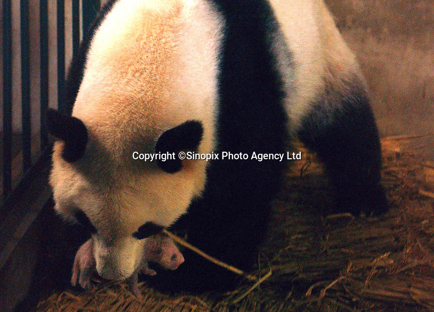 A six-dayn old Panda with it's adoptive mother called Qing Qingat the Chengdu Panda Breeding and Research Institute. The pandas biological mother was unable to take care of the baby.  There have been more pandas births than ever this season, with fifteen currently surviving.