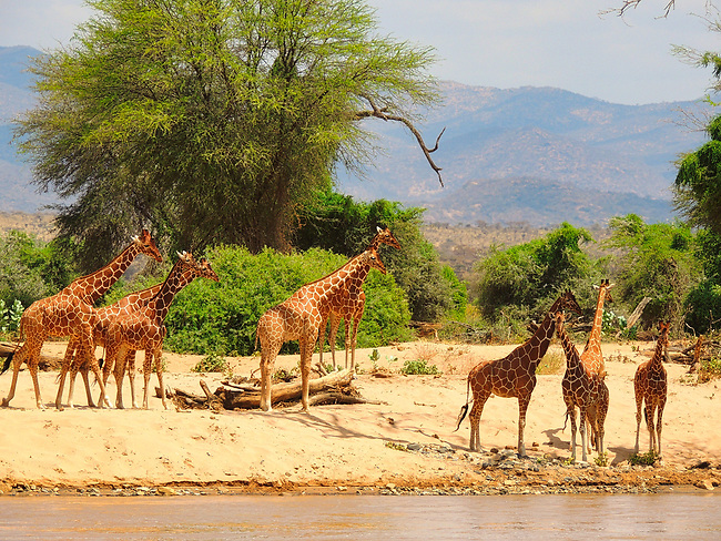 Giraffe Herd, Ewaso Nyiro River, Samburu
