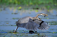 Great Blue Heron fishing for brown catfish/bullhead. Predator/prey. Spring. Series 5/6. British Columbia, Canada. (Ardea herodias).