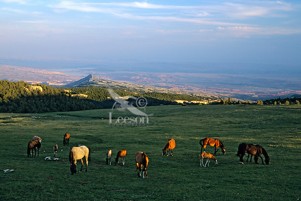 Herd of wild horses grazing in alpine meadows in Pryor Mountains, Montana in late evening.  Bighorn Canyon National Scenic Area, Wyoming in background. (Equus caballus)