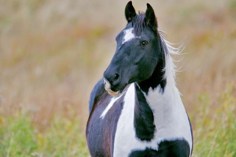 Black and white horse. Montana