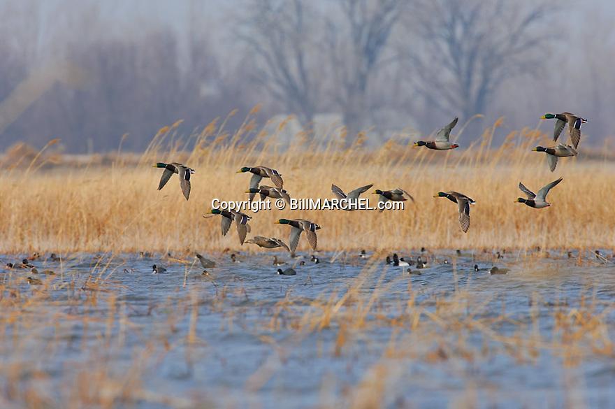 00330-073.12 Mallard Duck (DIGITAL) flock in flight low over marsh.  Action, fly, hunt, courtship, bird, wetland, waterfowl.  H1L1