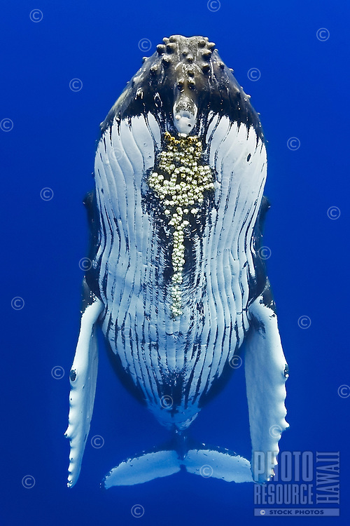 Humpback whale, Megaptera novaeangliae, with parasitic acorn barnacles attached under chin, Cornula diaderma, Hawai'i.