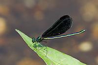 Ebony Jewelwing (Calopteryx maculata) Damselfly - Male, Ward Pound Ridge Reservation, Cross River, Westchester County, New York