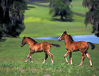 Arabian horse foals run across rise with water in background.